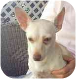 Chihuahua Mix Puppy for adoption in Albuquerque, New Mexico - Adam--SPECIAL