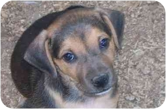 Beagle/Hound (Unknown Type) Mix Puppy for adoption in Fulton, Maryland - Cooper