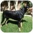 Photo 3 - Doberman Pinscher Dog for adoption in Las Vegas, Nevada - Zsa Zsa
