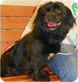 Pekingese Mix Dog for adoption in Loudonville, New York - Princess