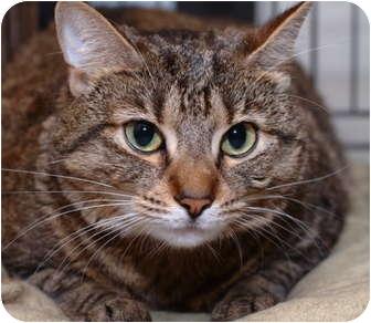 Domestic Shorthair Cat for adoption in Brooklyn, New York - Musya