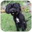 Photo 3 - Scottie, Scottish Terrier/Poodle (Miniature) Mix Dog for adoption in Newport Beach, California - BRONSON