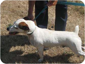 Jack Russell Terrier Dog for adoption in Monmouth, Illinois - Russell
