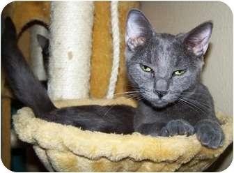 Domestic Shorthair Kitten for adoption in Las Vegas, Nevada - Sancho