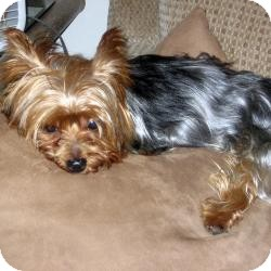 Yorkie, Yorkshire Terrier Mix Dog for adoption in Plano, Texas - Cody (a.k.a. Heart Thumper)