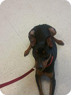 Miniature Pinscher Dog for adoption in Myersville, Maryland - Jackson