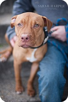 American Pit Bull Terrier Mix Dog for adoption in Reisterstown, Maryland - Ralphie