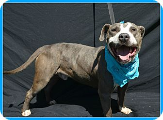 Pit Bull Terrier Mix Dog for adoption in Plano, Texas - Greyson