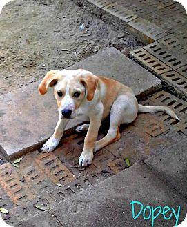 Labrador Retriever/Rhodesian Ridgeback Mix Puppy for adoption in Silsbee, Texas - Dopey