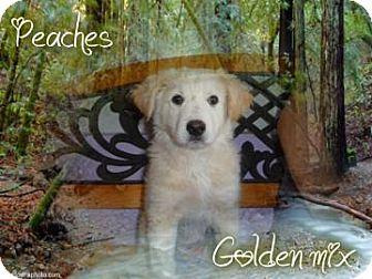 Golden Retriever Mix Dog for adoption in Desert Hot Springs, California - Peaches