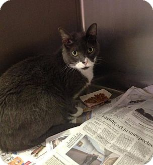 Domestic Shorthair Cat for adoption in Colonial Heights, Virginia - Tom