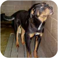 Rottweiler Mix Dog for adoption in Frankfort, Illinois - Rotty