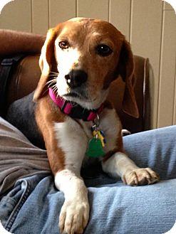 Beagle Dog for adoption in Overland Park, Kansas - Libby Lane