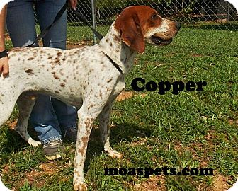 English (Redtick) Coonhound Dog for adoption in Danielsville, Georgia - Copper