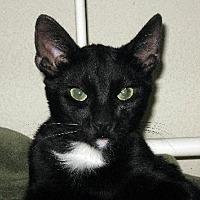 Domestic Shorthair Cat for adoption in San Jose, California - GAP-Kringle