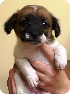 Cavalier King Charles Spaniel/Australian Shepherd Mix Puppy for adoption in Oswego, Illinois - I'M ADOPTED Holly Sempf