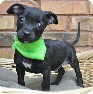 Chihuahua/Dachshund Mix Puppy for adoption in Benbrook, Texas - Dumbo