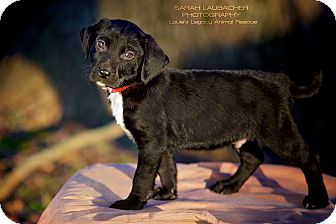 Labrador Retriever/Rottweiler Mix Puppy for adoption in Cincinnati, Ohio - Nico
