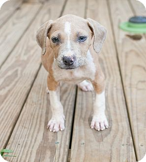 Pit Bull Terrier/Hound (Unknown Type) Mix Puppy for adoption in Calgary, Alberta - Diego