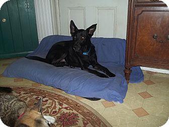 German Shepherd Dog/Labrador Retriever Mix Dog for adoption in Sparta, New Jersey - Kirby