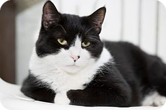 Domestic Shorthair Cat for adoption in Lombard, Illinois - Jazz