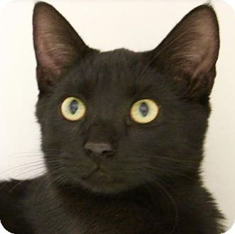 Domestic Shorthair Kitten for adoption in Red Bluff, California - Buckle