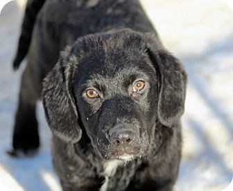Labrador Retriever Mix Puppy for adoption in Liberty Center, Ohio - Arla
