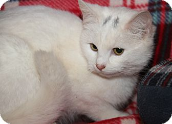 Domestic Shorthair Cat for adoption in Marietta, Ohio - Princess (Spayed)