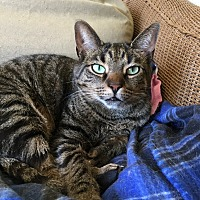Domestic Shorthair Cat for adoption in Frankfort, Illinois - Norman - At Adoption Center