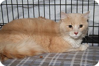 Domestic Shorthair Cat for adoption in Marietta, Ohio - Butterscotch (Neutered)