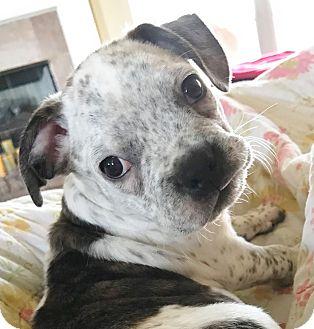 Boston Terrier/English Bulldog Mix Puppy for adoption in Courtland, Alabama - Fleck