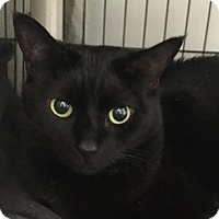 Domestic Shorthair Cat for adoption in Lafayette, New Jersey - Middy