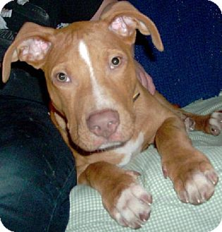 American Pit Bull Terrier Puppy for adoption in Tacoma, Washington - Theo