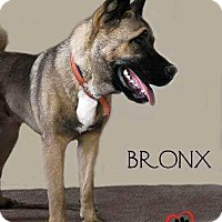 Akita Mix Puppy for adoption in Council Bluffs, Iowa - Bronx (Courtesy Post)
