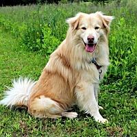 Adopt A Pet :: Shammie - Dillsburg, PA