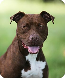 Pit Bull Terrier/Labrador Retriever Mix Dog for adoption in Wood Dale, Illinois - Gretel- Illinois