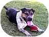 Beagle/Shar Pei Mix Dog for adoption in Sacramento, California - Missey
