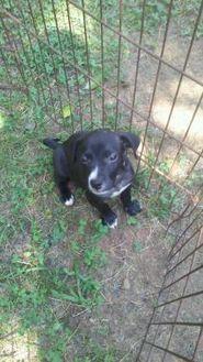 Labrador Retriever/American Staffordshire Terrier Mix Puppy for adoption in Old Bridge, New Jersey - Griffen