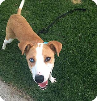 Husky/Shepherd (Unknown Type) Mix Dog for adoption in Alpharetta, Georgia - Baines