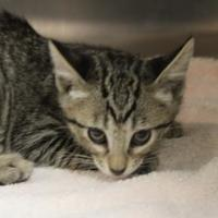 Domestic Shorthair/Domestic Shorthair Mix Cat for adoption in Farmers Branch, Texas - Fred