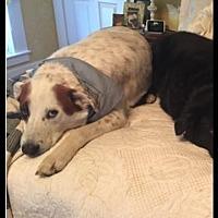 Australian Cattle Dog/Dalmatian Mix Dog for adoption in McKinney, Texas - Kovu