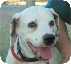 Dalmatian Dog for adoption in Turlock, California - Nash