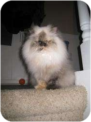 Himalayan Cat for adoption in Warren, Michigan - Cassie
