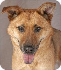 Shepherd (Unknown Type) Mix Dog for adoption in Chicago, Illinois - Murray