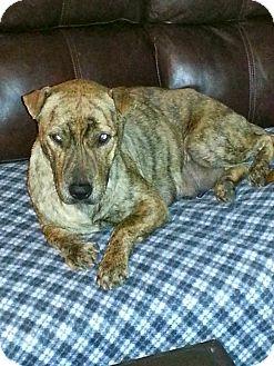 Shar Pei/Staffordshire Bull Terrier Mix Dog for adoption in Phoenix, Arizona - Maya