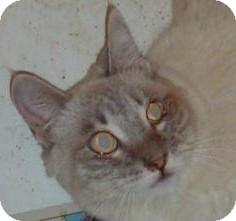 Siamese Cat for adoption in North Highlands, California - Calista