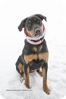 Rottweiler Mix Dog for adoption in Drumbo, Ontario - Bunny