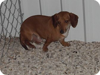 Dachshund Dog for adoption in Lubbock, Texas - cisco