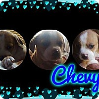 Adopt A Pet :: Chevy - Alamosa, CO