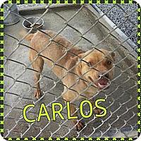 Adopt A Pet :: Carla - Donaldsonville, LA